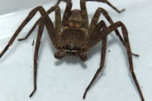 Spider in the Philippines